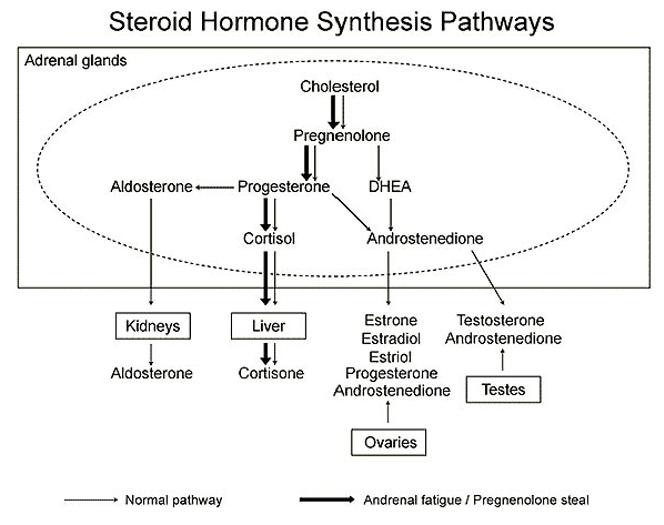Drogi syntezy hormonów sterydowych